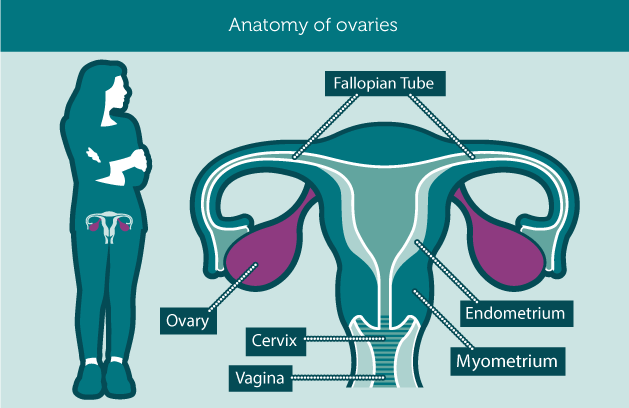 anatomy_ovaries1